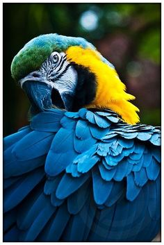 Blue and Gold Macaw. just like our macaw & boy can he scream. Tropical Birds, Exotic Birds, Colorful Birds, Pretty Birds, Beautiful Birds, Animals Beautiful, Ara Bleu, Blue Gold Macaw, Animals And Pets