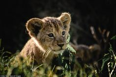 A tiny lion cub looks out from the undergrowth in the Serengeti. One of the young animals ...