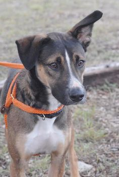 The Davinci Foundation for Animals RESCUE ACROSS THE NATION:TX sl - Finn- Shepherd Mix • Adult • Male • Large Canyon Lake Animal Shelter Society Canyon Lake, TX