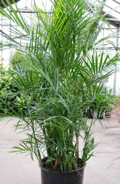 According to NASA, it removes formaldahyde and is also said to act as a natural humidifier. Cat Safe Plants, All Plants, Indoor Plants, Fatsia Japonica, Bamboo Palm, Outdoor Trees, Earthship, Houseplants, Outdoor Living