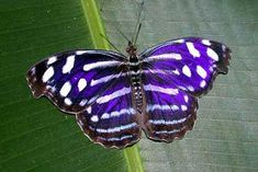 The Mysellia-Cyaniris Butterfly of the Butterfly Farm of Costa Rica