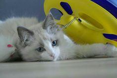 Koos; zoon van Mika/Dundy Kitten, Van, Animals, Cute Kittens, Kitty, Animales, Animaux, Kitty Cats, Animal