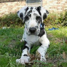 24 Trendy dogs and puppies great dane smile Great Dane Facts, Great Dane Funny, Great Dane Dogs, I Love Dogs, Cute Dogs, Weimaraner, Harlequin Great Dane Puppy, Dane Puppies, Big Puppies