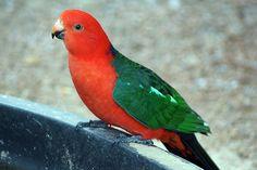 Australian King Parrot.