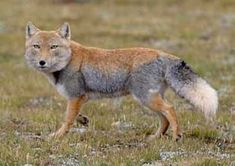Tibetan Sand Fox and can be considered a dangerous adversary. Other predators of the Tibetan Fox are human hunters, who kill them for their fur to wear as hats! Curious Creatures, Wild Creatures, Nature Animals, Animals And Pets, Tibetan Fox, Fox Facts, Maned Wolf, Fantastic Fox, African Wild Dog