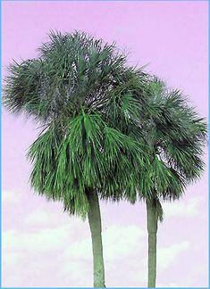 144 Best Palms Amp Cycads Images Landscape Plants Palm Trees