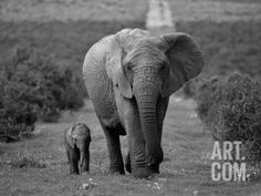 Mother and Calf, African Elephant (Loxodonta Africana), Addo National Park, South Africa, Africa Photographic Print by Ann & Steve Toon at Art.com