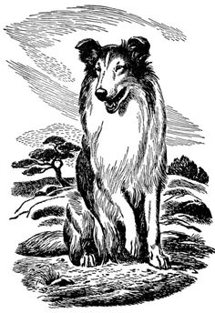 Sitting-Rough-Collie