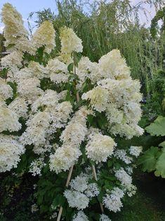 Støtte til syrinhortensia og andre med tunge hoder. Hydrangeas, Plants, Plant, Hydrangea Macrophylla, Planets