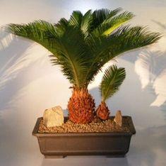 Sago Palm Indoor Bonsai Tree | Sago Palm Bonsai Tree - With Baby (cycas revoluta)