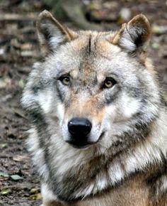 prächtiger Wolf
