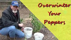 Growing Peppers, Replant, Gardening Tips, The Creator, Stuffed Peppers, Stuffed Pepper, Stuffed Sweet Peppers