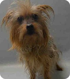 Yorkie, Yorkshire Terrier Mix Dog for adoption in Ardsley, New York - Trixie