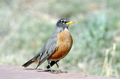 ONNECTICUT American robin. Adopted 1943.Official Birds of Every State