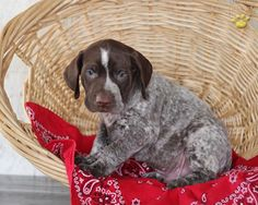 Puppy I am going to be getting, First pet of my own, I can't wait. Little Girl named Maggie!! - German Short Haired Pointer