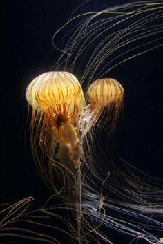 Jellyfish (GIF)
