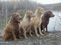Chesapeake Bay Retrievers - differing coat colors. Mine is like the first one of the left. Love her so much!