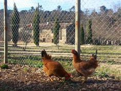 Gallinas empordanesas en Can Bonet! Costa, Animals, Hens, Animales, Animaux, Animal, Animais