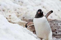 El pingüino papúa tratando de navegar por los suelos nevados de la Antártida.
