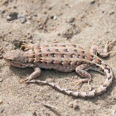 Похожее изображение Cute Lizard, Reptiles And Amphibians, Bearded Dragon, Best Diets, Animal Kingdom, Animal Pictures, Dragons, Creatures, Lizards