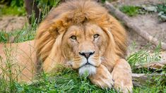 Lion, Animals, Leo, Animais, Lions, Animales, Animaux, Animal, Dieren