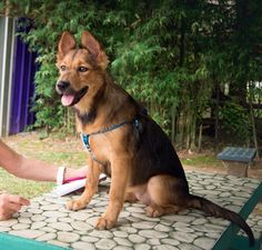 ADOPTION UPDATE:  Soi Dog Sunflower has found her new forever home in Sweden, flying with the flight volunteer who introduced her to her new family.  Enjoy your new found happiness and forever home little lady xxx
