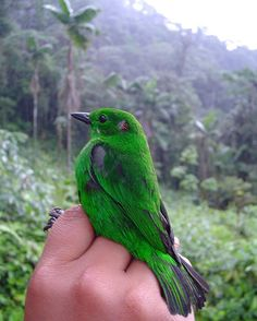 Glistening-green Tanager - ProAves Colombia