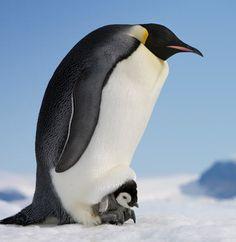 南極大陸に住む、コウテイペンギンたちの愛くるしく心温まる写真が、フォトグラファーのポール氏によって撮影されたそうだ。コウテイペンギンは零下数十度の冬の氷原で繁殖を始める「世界でもっとも過酷な子育てをする鳥」として知られている。