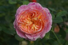 Candice - Ludwigs Roses | Deaf TV presenter & celebrity, Candice Morgan, is the ambassador for this deeply perfumed nostalgia type rose. A blend of deep cream mingled with pink and a few faint stripes, give it a distinctive character. The bush is graceful & reaches between hip & chest height.