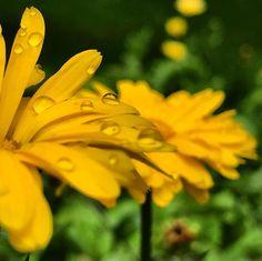 "Fräulein Nellüüü on Instagram: ""#ringelblume #ringelblumen #calendula #calendulaofficinalis #ringelblumenblüten #caléndula #korbblütler #blomma #ringblomma #heilkraut…"" Flora, Plants, Instagram, Calendula, Plant, Planets"