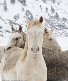 wild horses in the snows of Colorado
