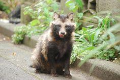 A tanuki (raccoon dog in Tokyo)