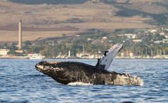 a whale breaching with Maui, Hawaii in the background.This was amazing!