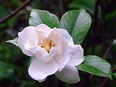 Risultati immagini per gardenia jasminoides Zinnias, Carnations, Daffodils, Gladiolus, Delphinium, Organic Essential Oils, Begonia, Gerbera, Lily Of The Valley