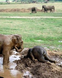 Baby elephants throw themselves into the mud when they get upset. Hilarious..