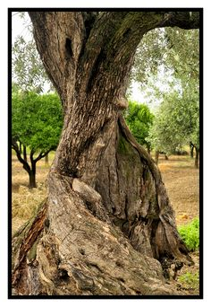 Characteristic and charming centenary olive tree