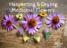 Harvesting & Drying Medicinal Flowers - my echinacea finally hit its third year, the optimum harvest time