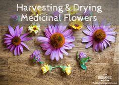 Harvesting & Drying Medicinal Flowers