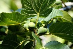 Ficus, Fig Leaves, Plant Leaves, Common Names, Organic Herbs, Plantation, Drying Herbs, Over Dose, Family Traditions