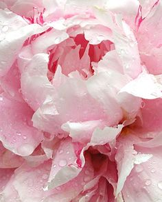 Pale Pink peony after a rain shower by Kathy Madden.