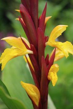 Cautleya spicata robusta