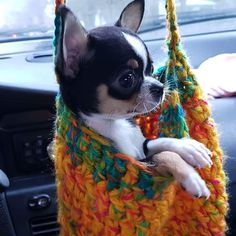 Oh my gosh! #chihuahua