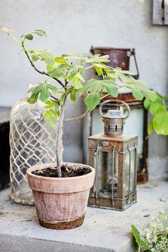 Kobberlyktene står ute året rundt og har fått et fint, værbitt utseende. Det lille fikentreet settes ut om sommeren og står godt under taket. Terrakotta-potten passer dessuten fint til den romantiske stilen. Glassflasken med bast er fra Home & Cottage. Planter Pots, Terracotta
