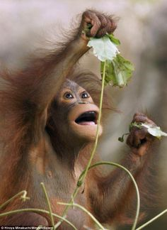 Infant orangutan looks as if it is trying to squeeze water from these leaves.