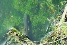 Large (1m+) Danube Salmon (hucho hucho) under the bridge in Vrhnika city  More info: http://www.urkofishingadventures.com/