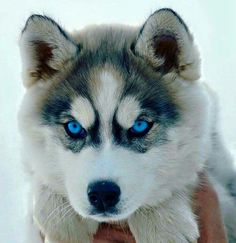 Wonderful All About The Siberian Husky Ideas. Prodigious All About The Siberian Husky Ideas. Siberian Husky Dog, Husky Puppy, Puppy Face, Pomeranian Husky, Siberian Husky Training, Husky Mix, Cute Little Animals, Cute Funny Animals, Funny Pets