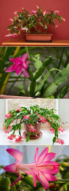 Care for a Christmas cactus complete guide Succulent Terrarium, Cacti And Succulents, Planting Succulents, Cactus Plants, Planting Flowers, Christmas Cactus Plant, How To Grow Cactus, Weird Plants, Cactus Wedding