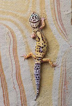 Leopard Gecko on Rainbow Slate   © Robert Jensen