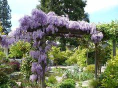 Blumen mit Duft - Der Blauregen ist eine Kletterpflanze