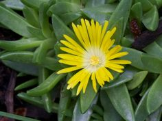 Delosperma basuticum (White-eyed Ice Plant) is the hardiest and cutest of the ice plants. It is up to 1.5 inch (3.7 cm) and forms a low...